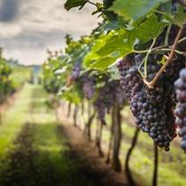 Zwiedzanie winnicy z degustacją